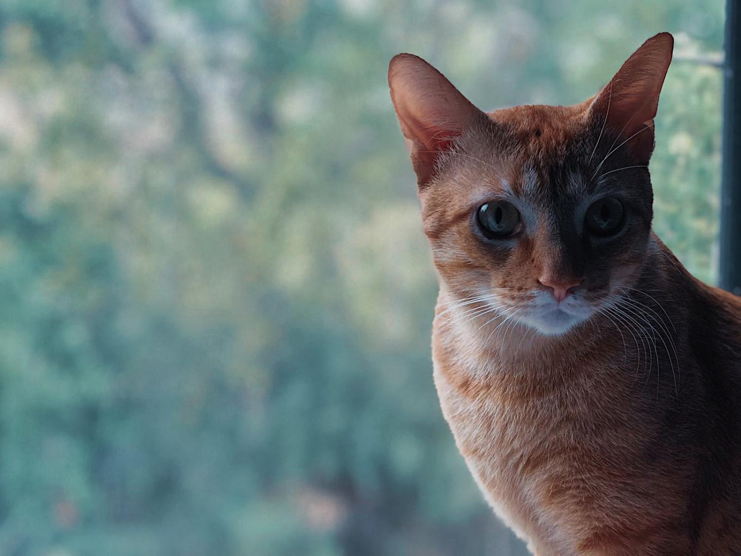 A rescued cat looking out into the distance. (Photo editing provided by Javier Martinez.)